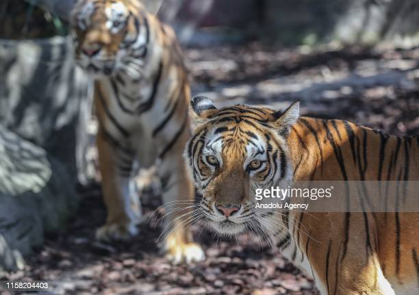 Tigers are seen at Lion Park of Tuzla Viaport Marina hosting two Bengal tigers two Siberian tigers and three Bengal tiger cubs within International...
