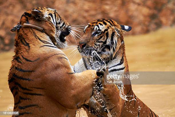 Tigers fighting it out