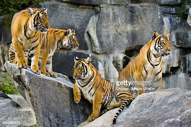 Tigers On Rocks In Zoo