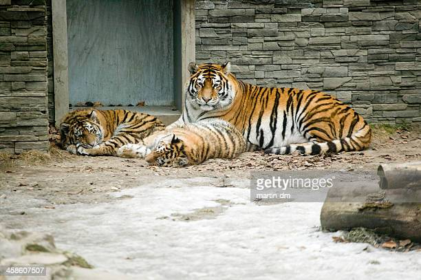 tigers - martin dm stock pictures, royalty-free photos & images