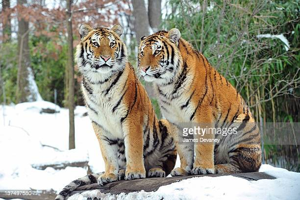 Tigers seen at the Bronx Zoo after a snow storm on January 21 2012 in the Bronx borough of New York City