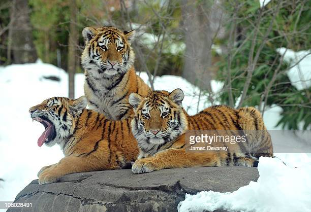 Tigers seen at the Bronx Zoo on January 12 2011 in the Bronx borough of New York City