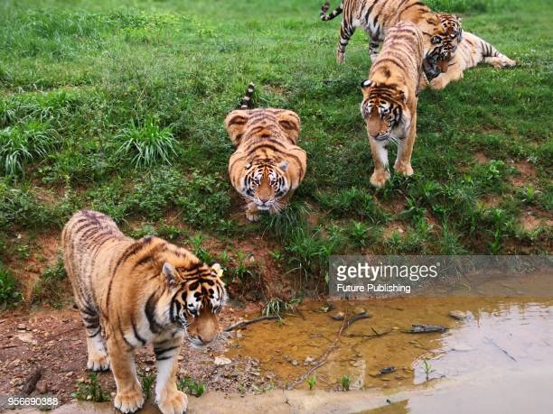 Tigers wander in Xiongsen Bear and Tiger Mountain Village a research and breeding base for endangered animals and also a tourist attraction in Guilin...