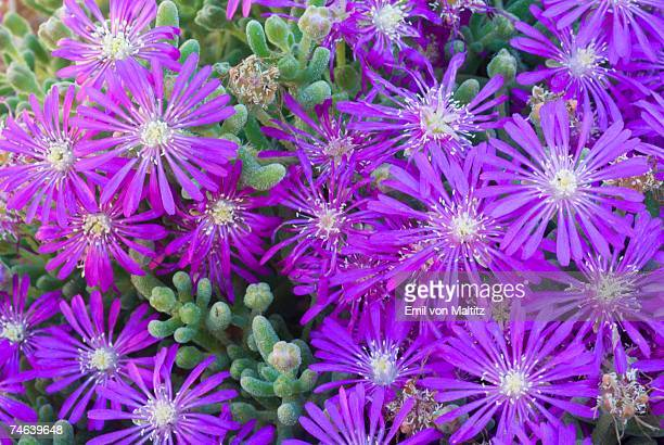 tight clump of purple mesembryanthemum (drosanthemum hispidium) flowers - the karoo stock pictures, royalty-free photos & images
