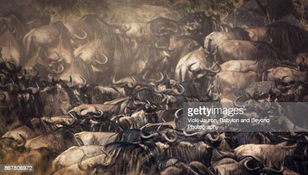 Tight Crowd of Wildebeest in Masai Mara, Kenya About to Cross the River