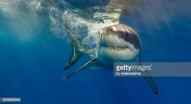 tight lipped grin - great white shark stock photos and pictures