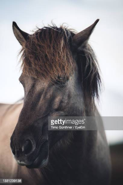 tight portrait of icelandic horse near vatnajökull national park, iceland - animal head stock pictures, royalty-free photos & images