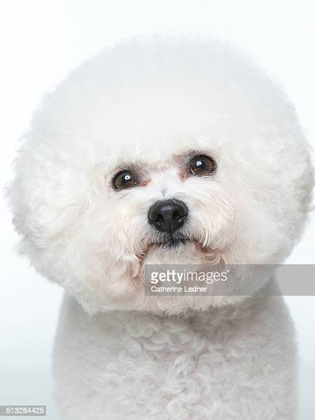 Tight Shot of Bishon Frise