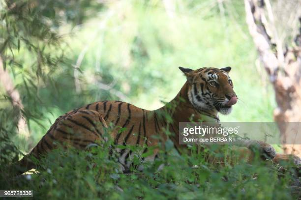 Tigre du Bengale parc National de Bandipur Karnataka Inde