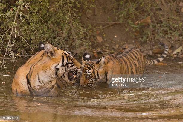Tigress and cub in water