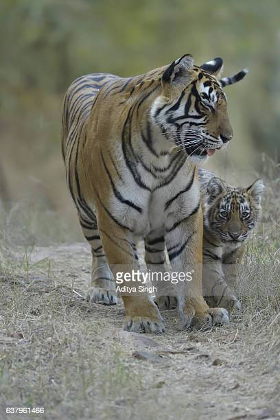 Tigress and cubs on a forest path