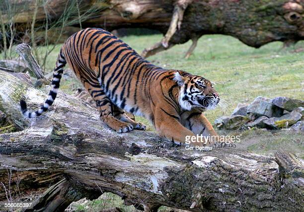 Tigress Calisthenics