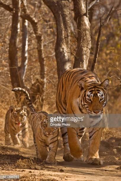 tigress panthera tigris tigris with cubs, ranthambore national park, rajasthan, india - ranthambore national park stock pictures, royalty-free photos & images