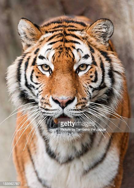 tigress - siberian tiger stock pictures, royalty-free photos & images