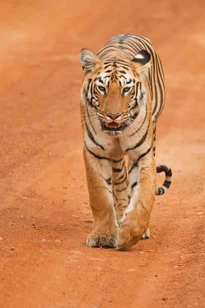 -tigress