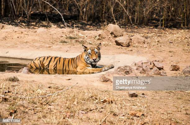 a tigress sitting in a waterhole on a hot summer day - bandhavgarh national park stock pictures, royalty-free photos & images
