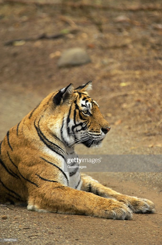 Tigress (Panthera tigris) sitting on the dirt road, Ranthambore National Park, Rajasthan, India : Foto de stock