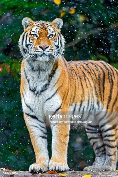 Tigress under falling snow