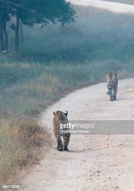Tigress walking inside the pench national park during a wildlife safari on a winter morning with her cubs