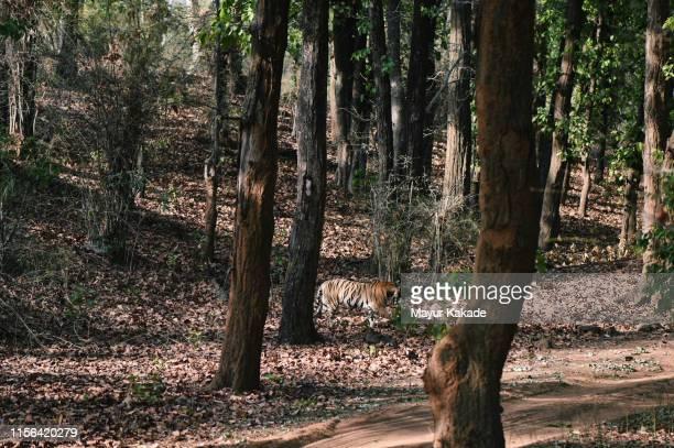 tigress walking through bandhavgarh national park - bandhavgarh national park stock pictures, royalty-free photos & images