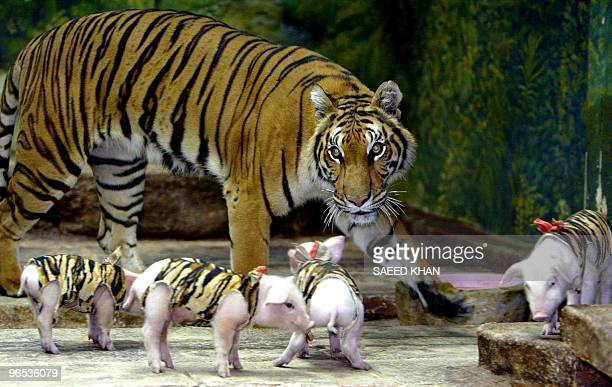 A tigress walks around with piglets at the Sri Racha tiger zoo in Chonburi province southeast of Bangkok 18 November 2004 The world's largest tiger...