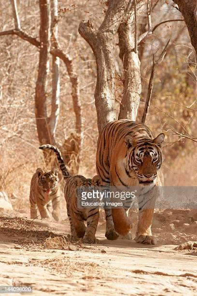 Tigress With Cubs Panthera Tigris Searching Prey, Ranthambore National Park, Rajasthan, India.