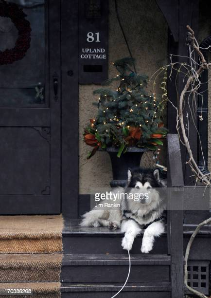 Tikaani a 4yearold Alaskan malamute presides over the front porch of Marc and Sarah Giacomelli's Wychwood Park home JIM RANKIN/TORONTO STAR