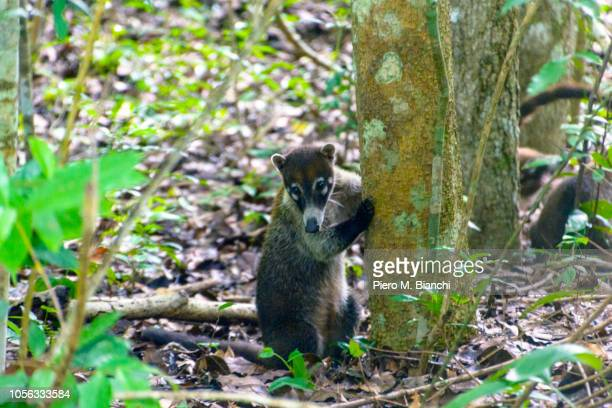 tikal - coati stock pictures, royalty-free photos & images