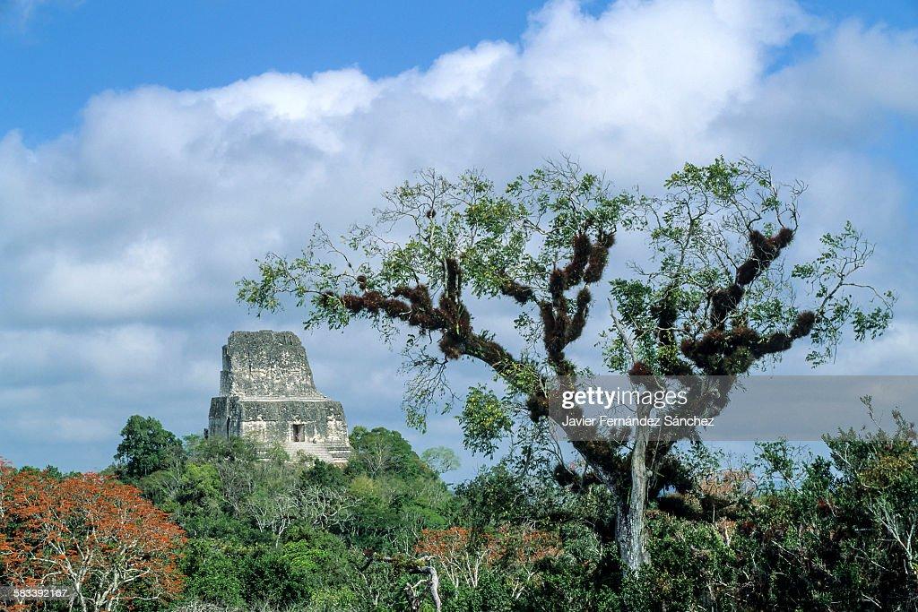 Tikal. The rainforest surrounding the temple IV : Stock Photo