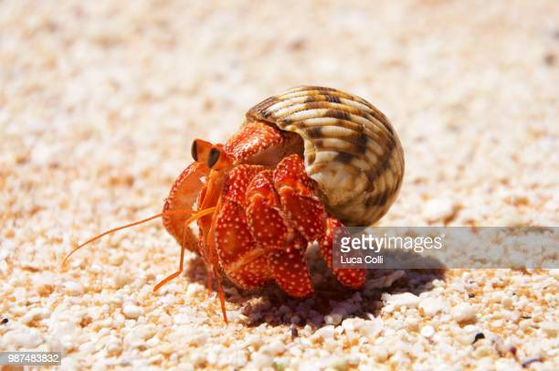 tikehau hermit crab - hermit crab stock pictures, royalty-free photos & images