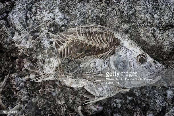 tilapia skeleton - damlo does stock pictures, royalty-free photos & images