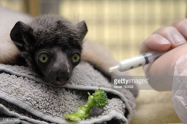 Tilavo is one of the two baby lemurs that were born at the zoo in early January in Paris, France on March 03, 2007 - A veterinarian feeds a baby...
