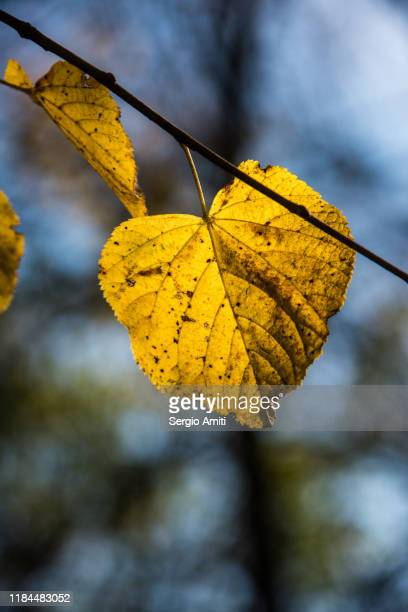 tilia cordata leaves - highgate stock pictures, royalty-free photos & images