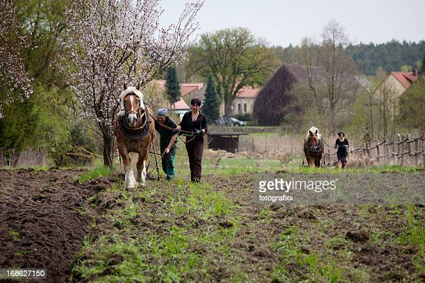 tillage with draft horses - organic farming -  cultivation of soil - shire horse stock pictures, royalty-free photos & images