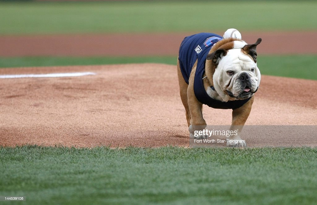 Tillman, the world's fastest skateboarding bulldog delivers the first pitch during Bark in the Park of a Texas Rangers versus Kansas City Royals MLB baseball game at the Ballpark in Arlington, Texas, on Tuesday, May 15, 2012.