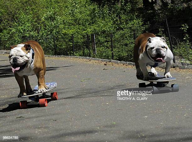 Tillman the world�s fastest skateboarding canine and Lyle get in some practice runs in Central Park April 23 2010 before he competes at �Bark in the...