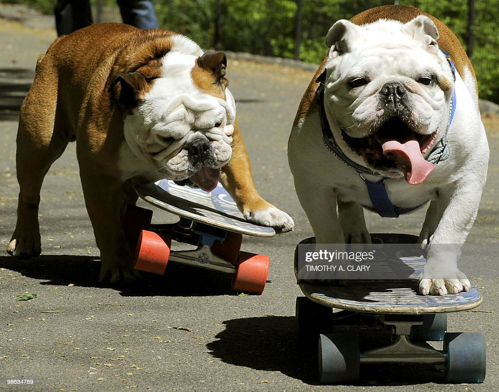 Tillman, the world�s fastest skateboarding canine (L) and Lyle get in some practice runs in Central Park April 23, 2010 before he competes at �Bark in the Park� at Citi Field tommorow. Tillman a 4-year old English Bulldog, who was named after the late NFL star and US Army Ranger Pat Tillman, is here with his owner Ron Davis from Southern California and is sponsored by Natural Balance Pet Foods.