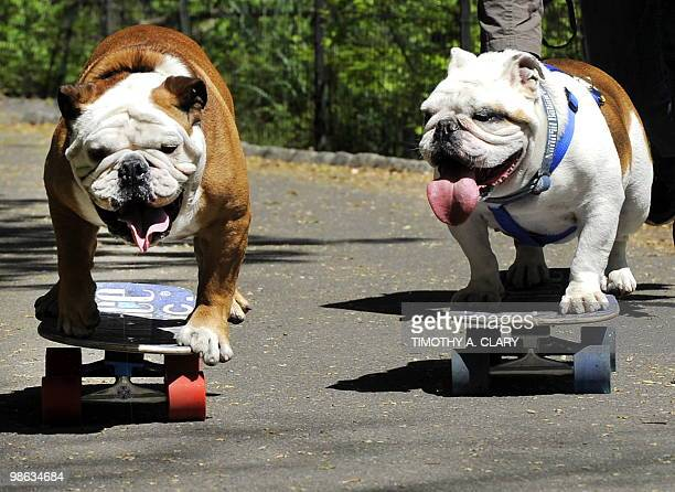60 Top Old English Bulldog Pictures, Photos and Images