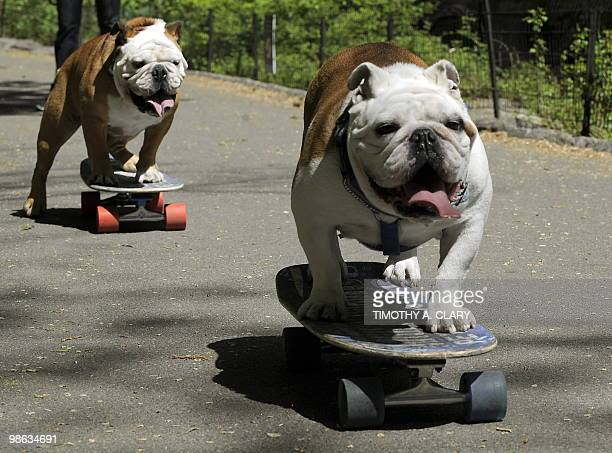 Tillman the world�s fastest skateboarding canine and Lyle take some practice runs in Central Park on April 23 2010 in New York before he competes at...