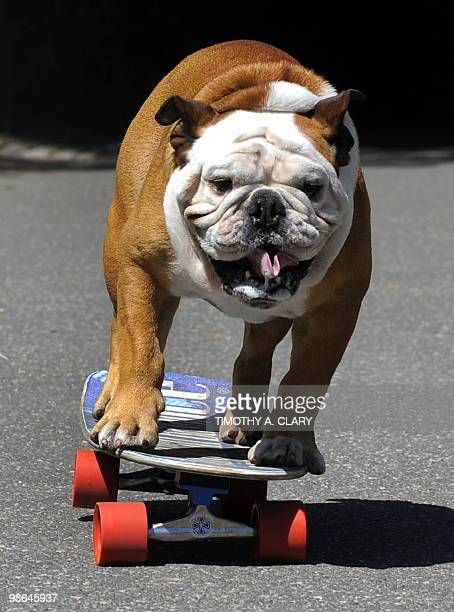 Tillman the world�s fastest skateboarding canine gets in some practice as he runs in Central Park April 23 2010 before competing at �Bark in the...