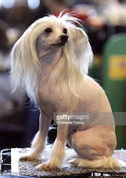 Tilly a Chinese Crested waits to go in the ring on third day of the 103rd Crufts dog show on March 11 2006 in Birmingham England Over 23000 top...