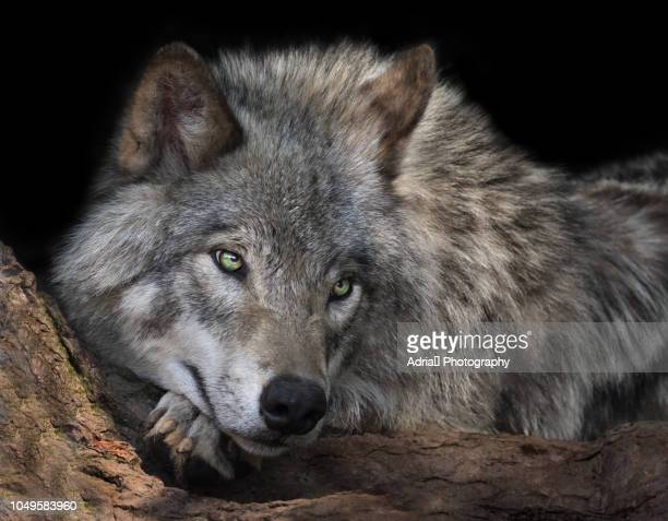 timber wolf close-up - black wolf stock pictures, royalty-free photos & images
