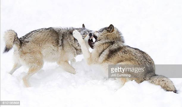 Timber wolf fight