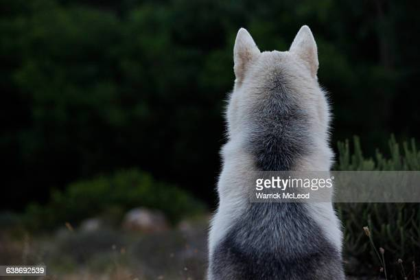 timber wolf malamute husky hybrid puppy looking over forest cape town rear view - malamute stock pictures, royalty-free photos & images