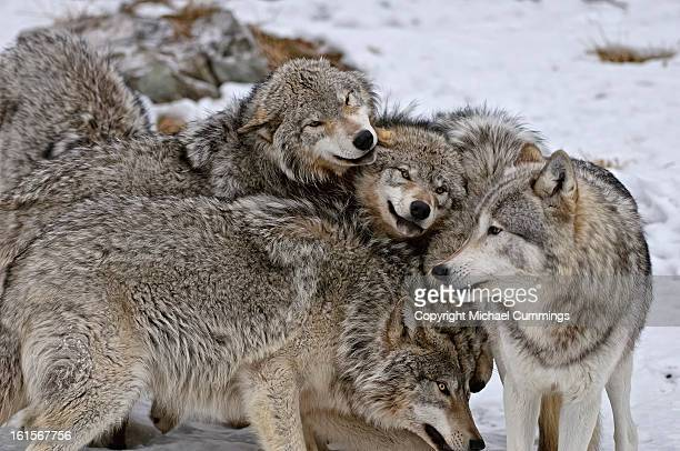 timber wolf pack - michael wolf stock photos and pictures