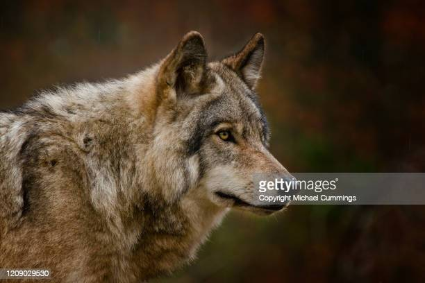 timber wolf - wolf stock pictures, royalty-free photos & images