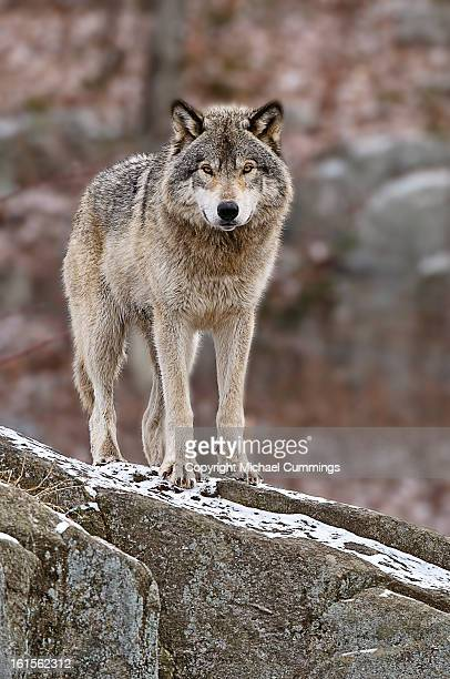 timber wolf - michael wolf stock photos and pictures