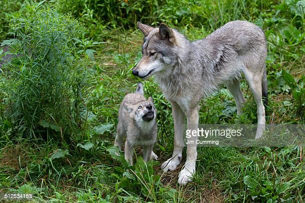 timber wolf - male animal stock photos and pictures