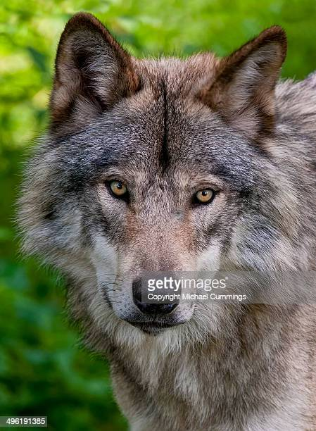 timber wolf pictures - michael wolf stock photos and pictures