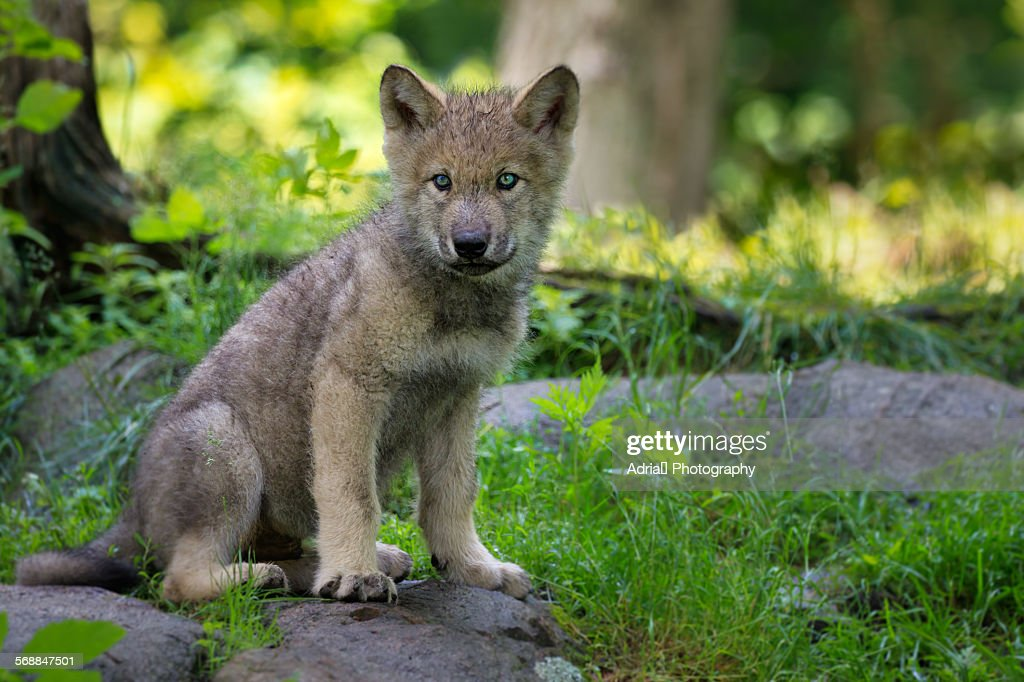 Timber wolf puppy : Stock Photo